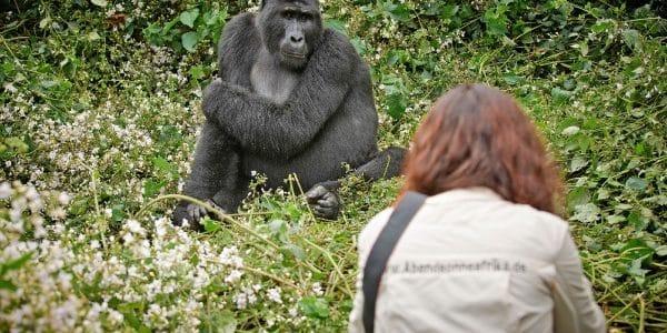 Gorillas in freier Wildbahn: Ein unvergesslicher Urlaub