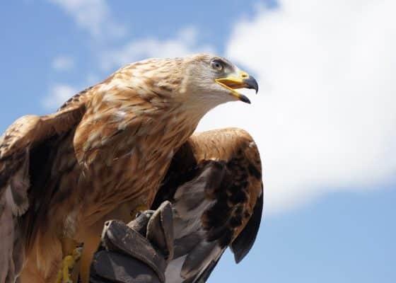 Adler in Deutschland: Brutgebiete müssen gesichert werden