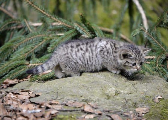 Wildkatzen in deutschen Wäldern: Nachwuchs nicht mitnehmen