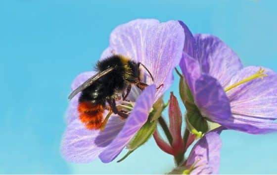 Insektensommer des NABU: Steinhummel auf Platz 1
